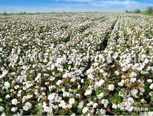 中国棉花不容无良企业乱弹